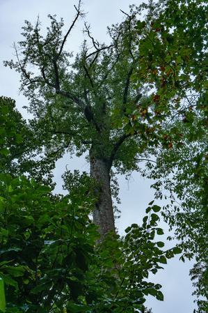 Crown Dieback in Joyce Kilmer Big Trees
