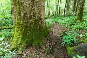 Joyce Kilmer Trail Big Tree