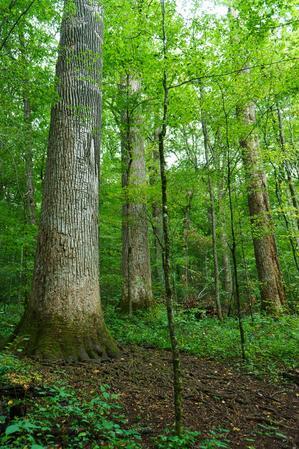 Big Trees in Joyce Kilmer Memorial Forest