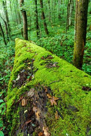 Mossy Log in Joyce Kilmer