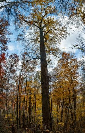 Huge Poplar on the Big Fork Ridge Trail