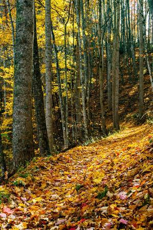 Golden Sunlight on Yellow Leaves