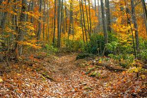 Fall Leaves along the Big Fork Ridge Trail