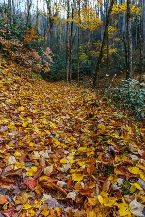 Maple Leaves on the Trail