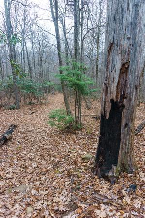 Burnt Tree on the East Ridge Trail