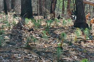 New Pine Seedlings Growing After Wildfire