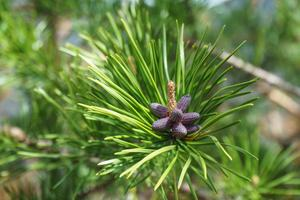 Pines have Flowers Too