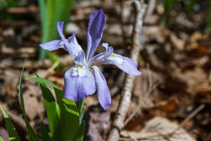Dwarf Crested Iris beside the Daniel Ridge Loop Trail