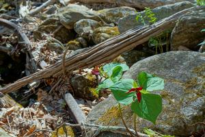 Red Trillium and Old Rail on the Farlow Gap Trail