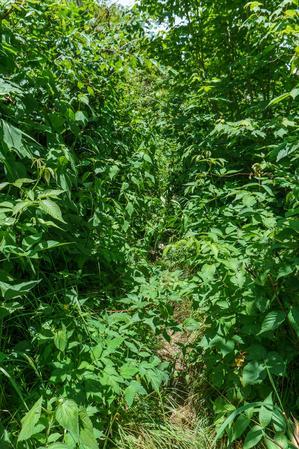 Overgrown Art Loeb Trail