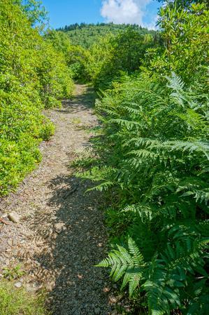 Ferns Along Ivestor Gap Trail