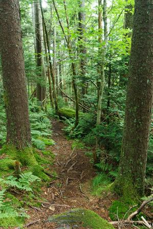 Medium-Sized Spruces on the Mountains to Sea Trail