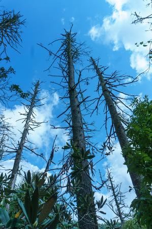 Dead Hemlocks at Linville Falls