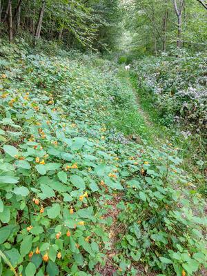 Jewelweed Beside the Laurel Gap Trail