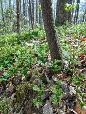 Club Moss on the Buckwheat Knob Trail