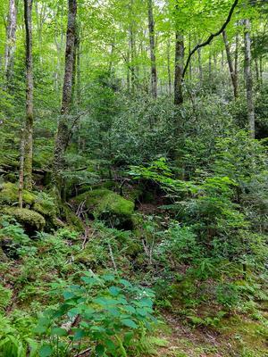 Lush Northern Hardwood Forest along the Flat Laurel Creek Trail
