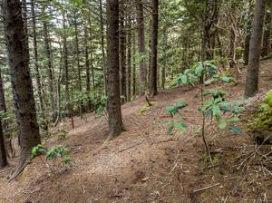 Red Spruce Forest near the Flat Laurel Creek Trail