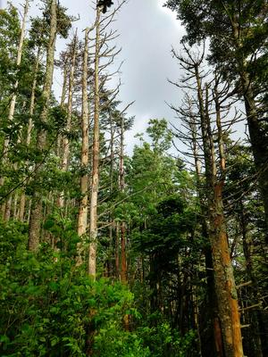 Dead Trees Along the Richland Balsam Trail