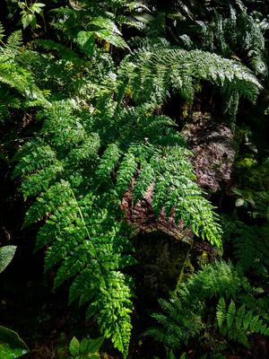 Ferns on Big Firescald Knob