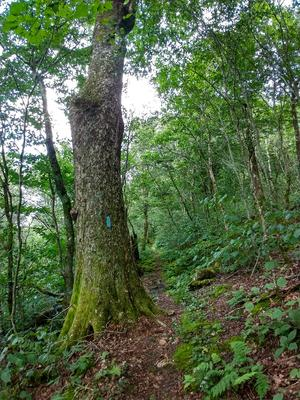 Big Birch Tree on Big Firescald Knob