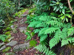 Ferns Beside Appalachian Trail