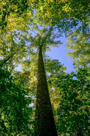Tall Tree and Blue Sky