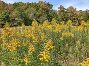 Fall Color and Goldenrod