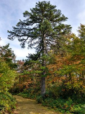 Pitch Pine along Licklog Road
