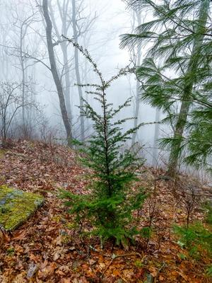 Carolina Hemlock on Bearwallow Mountain