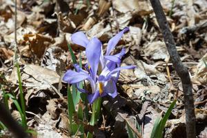 Native Iris on the Chinquapin Mountain Trail